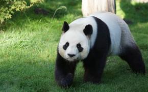 Picture grass, face, nature, pose, bear, Panda, walk, zoo
