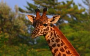 Picture look, face, nature, portrait, giraffe