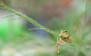 Picture nature, frog, Tree frog southern, Hyla meridionalis