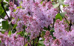 Picture Bush, spring, lilac