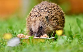 Picture grass, baby, Hedgehog, eats