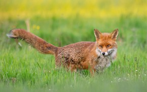 Picture field, summer, grass, look, nature, glade, meadow, Fox, tail, red, lawn, green background