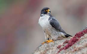 Picture background, bird, Falcon