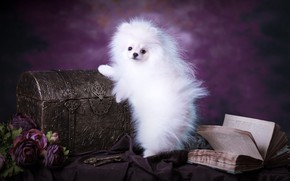 Picture white, purple, look, flowers, pose, background, dog, bouquet, fluffy, muzzle, puppy, fabric, book, chest, is, ...