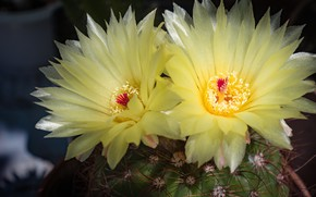 Picture Yellow, Cactus, Yellow flowers, Barb