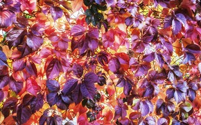 Picture autumn, bright colors, texture, yellow, purple, red, autumn leaves, wild grapes