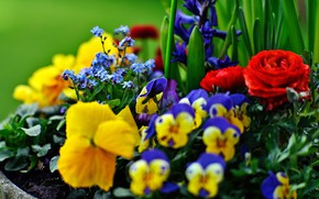 Picture Pansy, flowerbed, forget-me-nots, Ranunculus