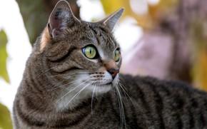 Picture cat, cat, Kota