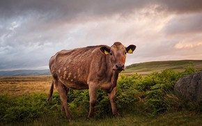 Picture field, nature, cow