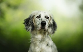 Picture look, face, portrait, dog, green background, spotted, setter