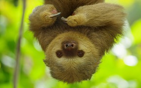 Picture background, portrait, paws, sloth, face, hanging, upside down