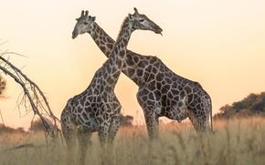 Picture field, the sky, grass, nature, giraffe, pair, giraffes, Savannah, two