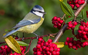 Picture berries, background, bird, branch, tit, blue tit