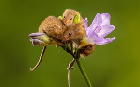 Picture flower, drops, pose, mouse, mouse, three, mouse, trio, buds, mouse, green background, lilac, ponytail, Threesome, …