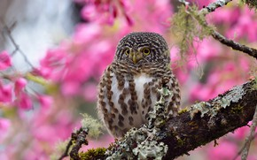 Picture look, flowers, background, tree, pink, owl, bird, branch, flowering, bokeh, motley, owl, sychik