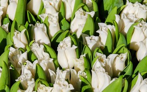 Picture flowers, spring, Tulips, white