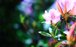 Picture leaves, flowers, branches, the dark background, bee, blur, insect, pink, bee, flowering, bokeh, rhododendron, Azalea
