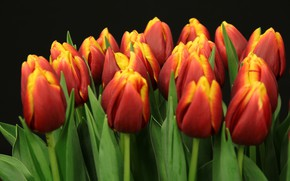 Picture the dark background, bouquet, tulips, red, buds, a lot, two-tone, red-yellow