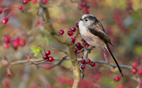 Picture autumn, look, branches, berries, background, bird, cute, branch, fruit, red, bird, titmouse, tit, long-tailed tit, ...