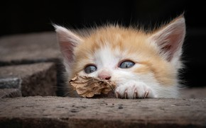 Picture red, muzzle, leaf, kitty