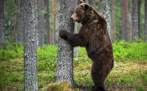 Picture forest, nature, pose, tree, bear, bear, trunk, profile, stand, brown