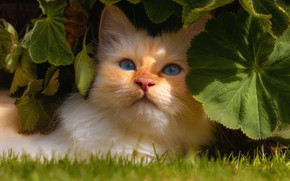 Picture cat, cat, look, leaves, red, muzzle, cat