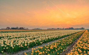 Picture field, flowers, daffodils