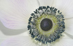 Picture flower, petals, anemonastrum