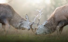 Picture pose, fight, pair, haze, horns, deer, two, muzzle, bokeh, rivals