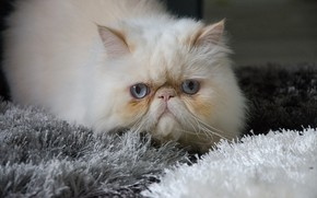 Picture cat, cat, fluffy, Kote, meow