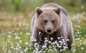 Picture face, glade, portrait, bear, bear, cotton, walk, brown