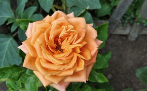 Picture rose, Flowers, beauty