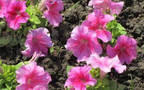 Picture Flowers, Pink, Petunia, Meduzanol ©, Summer 2018