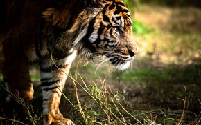 Picture grass, look, face, nature, tiger, paws, profile, sneaks