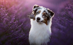 Picture each, dog, lavender