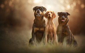 Picture language, dogs, grass, look, light, nature, pose, background, friendship, three, trio, friends, muzzle, bokeh, sitting, ...