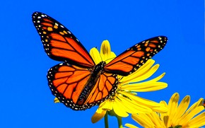 Picture macro, flowers, background, butterfly, wings, The monarch, Silphium