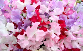 Picture flowers, pink flowers, Sweet peas
