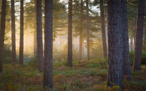 Picture forest, light, fog, trunks, morning, pine, fern, pine forest