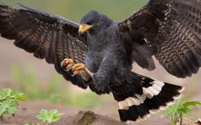Picture nature, bird, wings, predator, hawk, landing, the scope