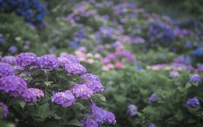 Picture nature, garden, flowering, hydrangea