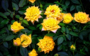 Picture roses, bouquet, yellow