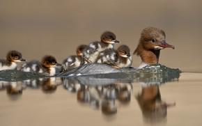 Picture water, birds, reflection, ducklings, duck, Chicks, Common merganser
