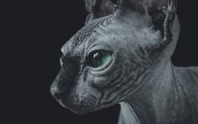 Picture cat, animals, Wallpaper, Sphinx, Sphynx, sphynx, Sphinx kitten