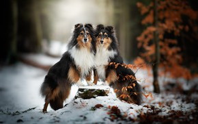 Picture winter, autumn, forest, dogs, look, face, leaves, snow, branches, nature, pose, Park, tree, together, two, …
