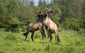 Picture horse, pair, sports, konik horses