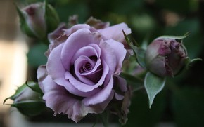 Picture roses, garden, stem, Bud, lilac rose