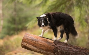 Picture nature, dog, log, the border collie