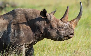Picture field, grass, look, face, light, close-up, background, portrait, profile, Rhino, horn