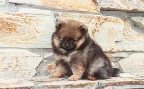 Picture stones, dog, puppy, sitting, brown, Spitz